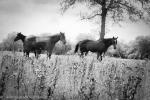 horses b&w-8