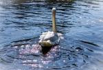 swan-dreamy-post