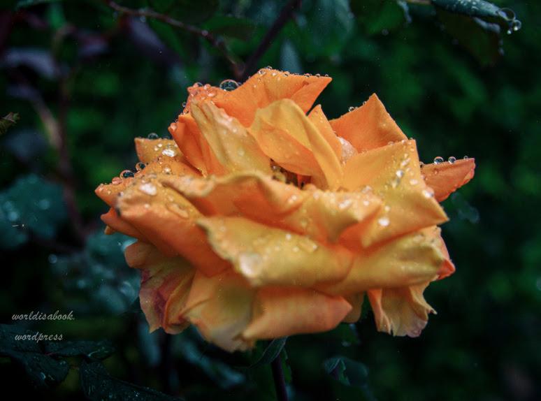 img_4104-rose