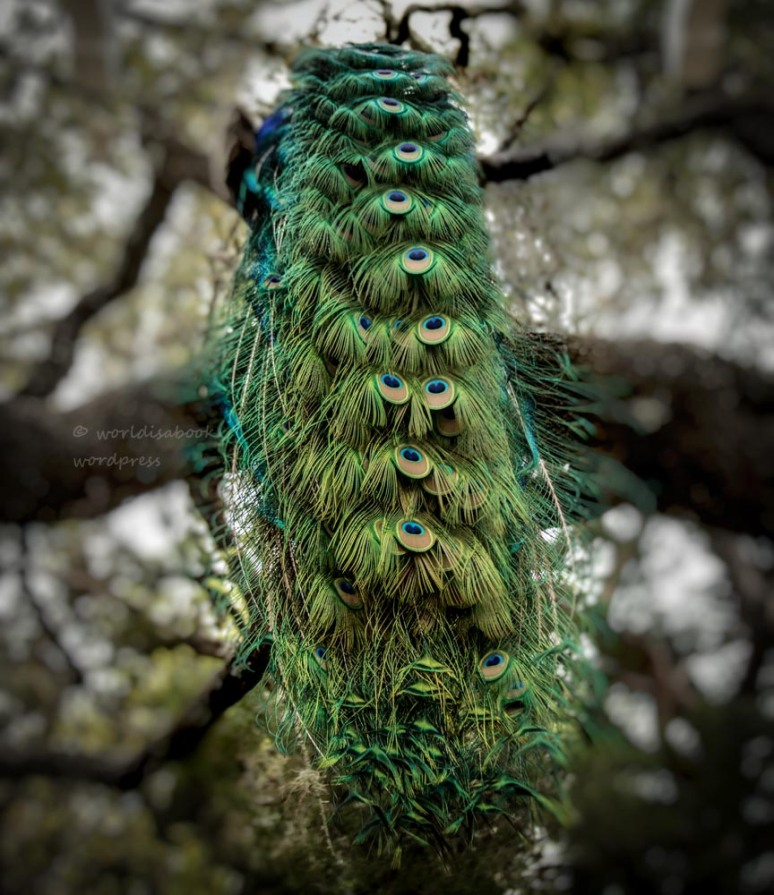 0W5A0107-Edit - peacock tain