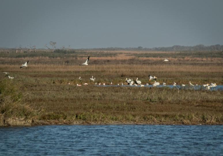 0W5A0896-pelicans