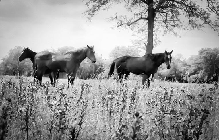 horses-bw-8-horse