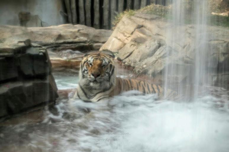 mg_0411-tiger wet-1