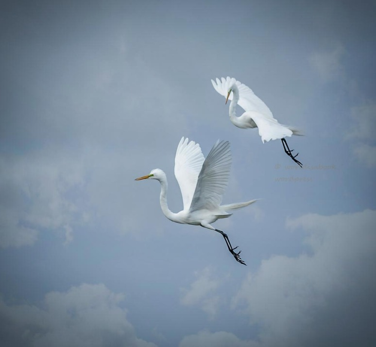 OW5A1759-two flying egrets 3-13