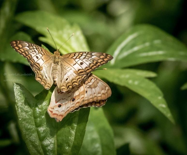_W5A8089 Butterfly