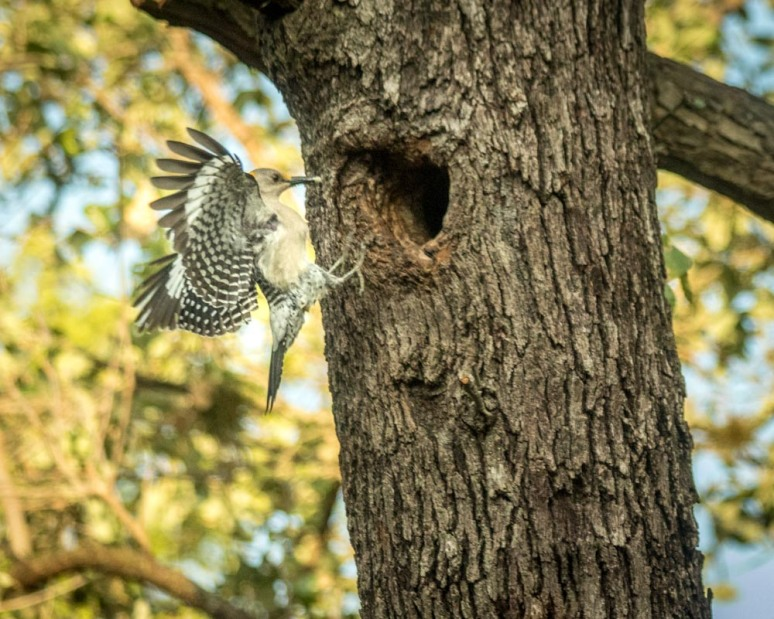 flying wdpecker