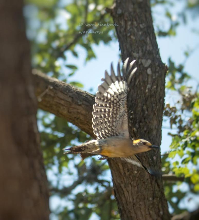 flying woodpecker 5-8